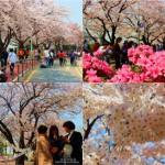 首尔樱花之旅