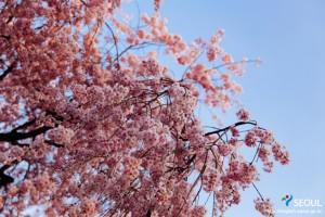 松坡渡口公园的樱花