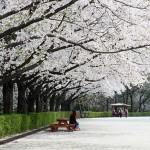 4月8日起首尔大公园樱花庆典盛事来袭