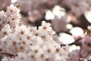 国立首尔显忠院 垂枝樱花