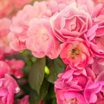 首尔大公园玫瑰节