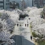 """首尔的""""180条美丽春花路"""""""