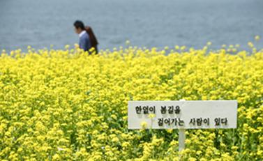油菜花(西涯岛)