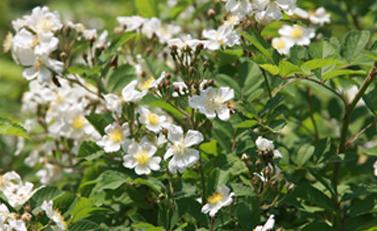 野蔷薇(江西、广渡口)