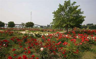 玫瑰园(杨花)